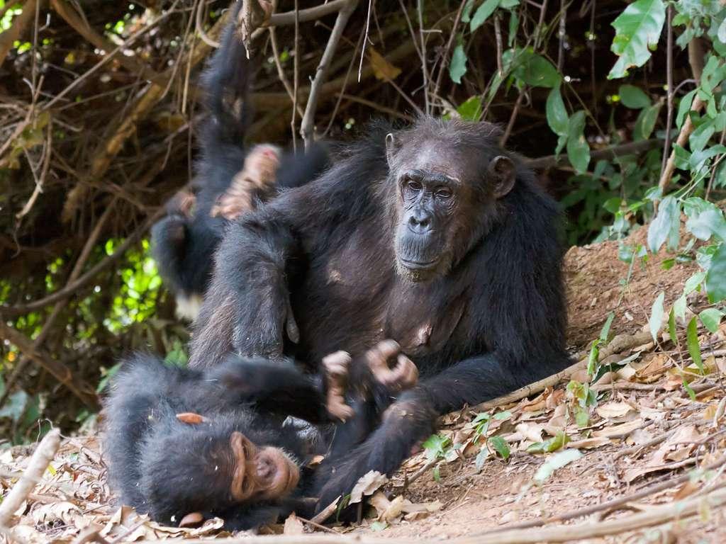 Femelle chimpanzé et son petit. © Ikiwaner, GNU 1.2