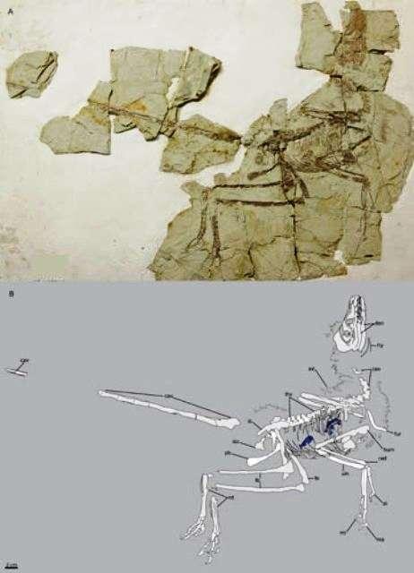 En haut le fossile de Microraptor gui découvert et en bas le relevé de son squelette. © ZHOU Zhonghe