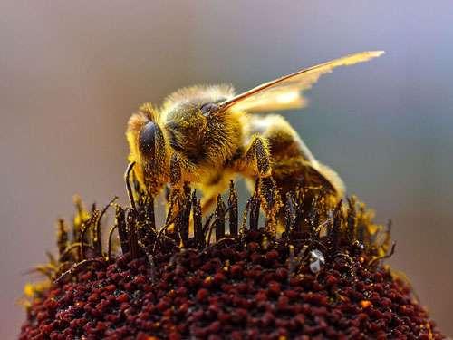Abeille récoltant du pollen. © Jon Sullivan, DP