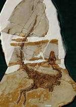 Le fossile de Sinosauropteryx, pomme de discorde sur la date d'apparition des plumes. En avait-il ou non ? Crédit : Proceedings of the Royal Society B