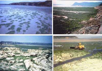 Figure 2 . Evolution saisonnière typique d'une marée verte à ulves sur la plage de Saint-Efflam (Côtes d'Armor). Démarrage printanier (en haut à gauche), apogée en juillet (en haut à droite), déssèchement et putréfaction estivale des dépôts de haut de plage (en bas à gauche), ramassage estival par les pouvoirs publics (en bas à droite)