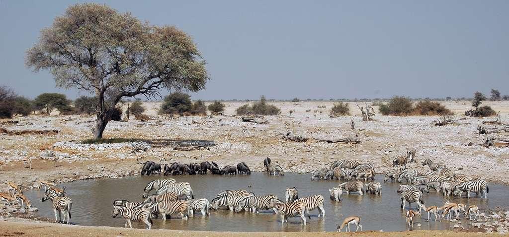 Parc Etosha, Namibie © Patrick Giraud/Calips, Wikimedia Commons by-sa 3.0