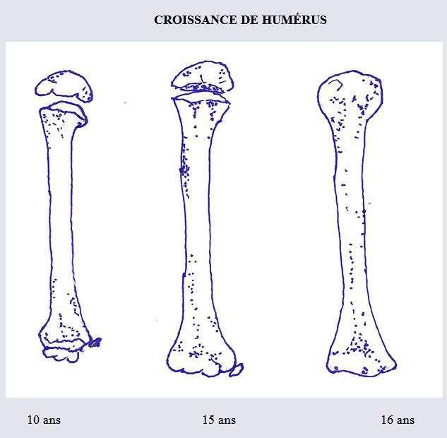 La croissance de l'humérus à différents âges. Le détail pour différentes parties de l'os est fourni ci-dessus. © DR