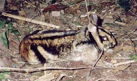 Annamite striped, une nouvelle espèce de lapin. Crédit WWF