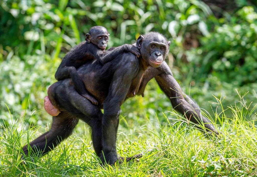 Chez les femelles bonobos, les organes génitaux sont externes. Ils gonflent régulièrement, parfois jusqu'à atteindre la taille d'un ballon, pour signifier une forte réceptivité sexuelle. © Uryadnikov Sergey, Adobe Stock