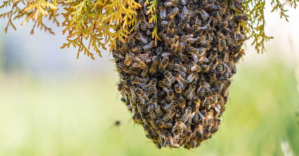 Un essaim d'abeilles. © A.G.A, Shutterstock