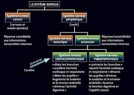 Effets de la cocaïne sur le système nerveux autonome