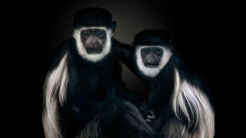 Le colobe guéréza, proie des chimpanzés