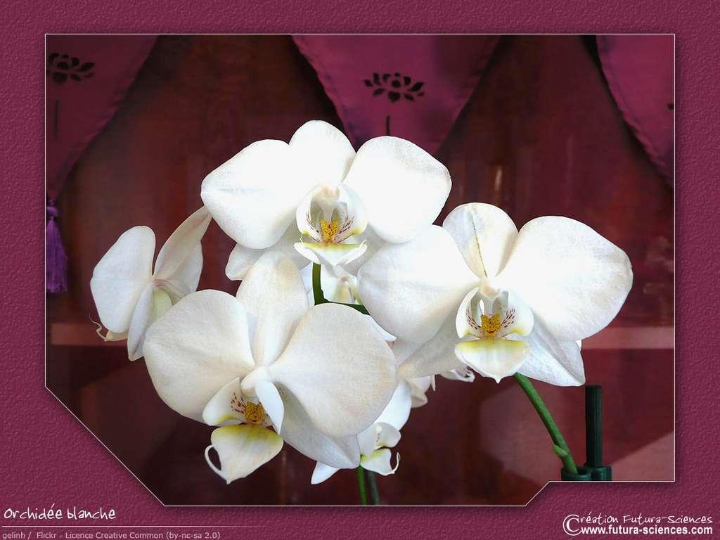 Fond D Ecran Orchidee Blanche