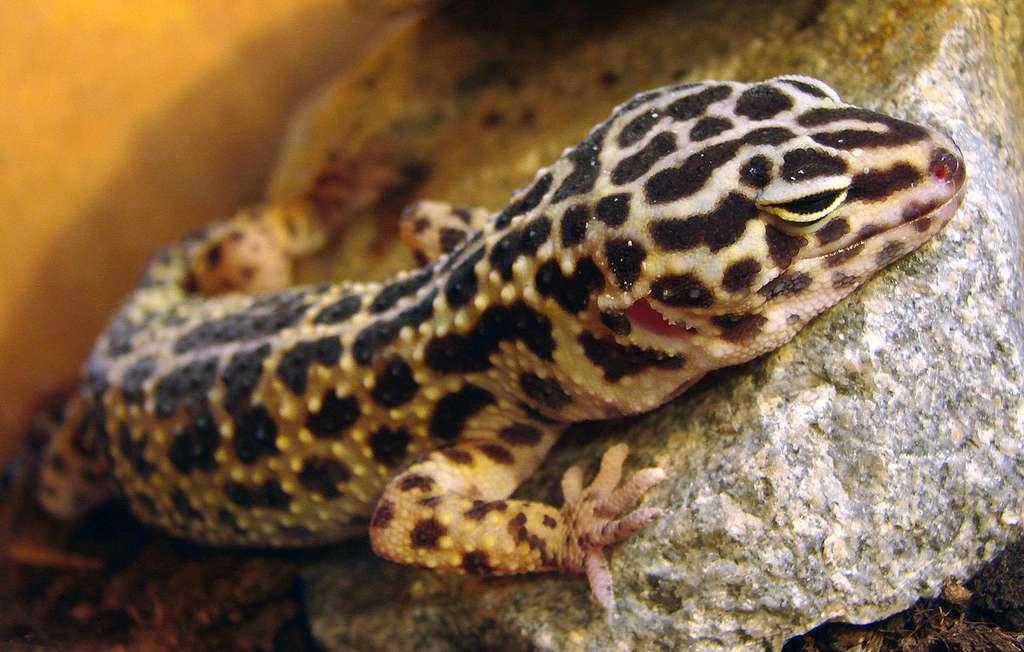 Le gecko léopard (Eublepharis macularius) fait partie des animaux dérobés. © Vassil, Wikipedia