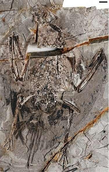 Sur l'image en négatif du fossile (l'empreinte laissée sur l'autre face de la pierre), on observe ce qui ressemble à une paire de poumons (droit marqué RL et gauche marqué LL) au-dessus de l'estomac (marqué gs). Ces organes respiratoires ne peuvent être confondus avec ce dernier car la dégradation des résidus organiques riches en carbone le rend plus sombre. © Xiaoli Wang et al., Pnas, 2018