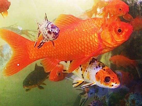 Les poissons rouges peuvent atteindre 30 cm de longueur et vivre 25 ans. Cette appellation générique recouvre en réalité plusieurs variétés et couleurs, dont les shubunkins, sans doute les plus décoratifs avec leurs taches blanches, bleues, orangées, noires ou rouges. © domestik-park.com