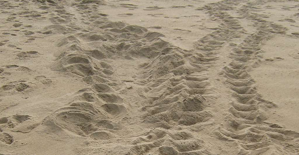 Traces de tortue sur la plage. © Blair Witherington, Flickr, CC by-nc 2.0