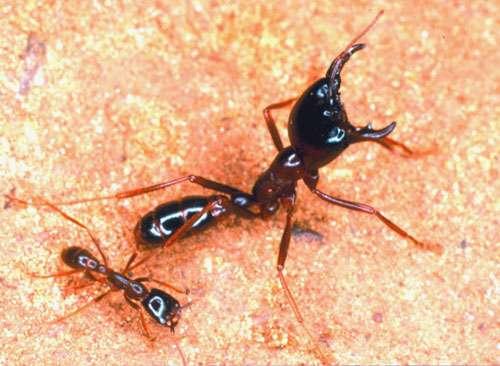 Un soldat de fourmi magnan et une ouvrière média. Illustration du polymorphisme des fourmis légionnaires. © W.-H. Gotwald Jr