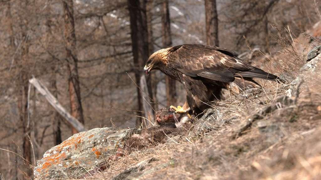 L'aigle royal un sédentaire exclusivement montagnard