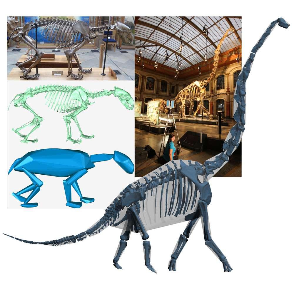 Le squelette de l'ours polaire ursus maritimus (à gauche en haut) a été scanné par un laser puis reconstruit virtuellement (squelette en vert). Un modèle informatique s'est alors chargé d'estimer l'enveloppe de chair qui devait entourer les os. Il est dès lors possible d'estimer la masse de l'animal. La même expérience a été menée sur le squelette d'un dinosaure Giraffatitan brancai (à droite). © W. Sellers et P. Manning