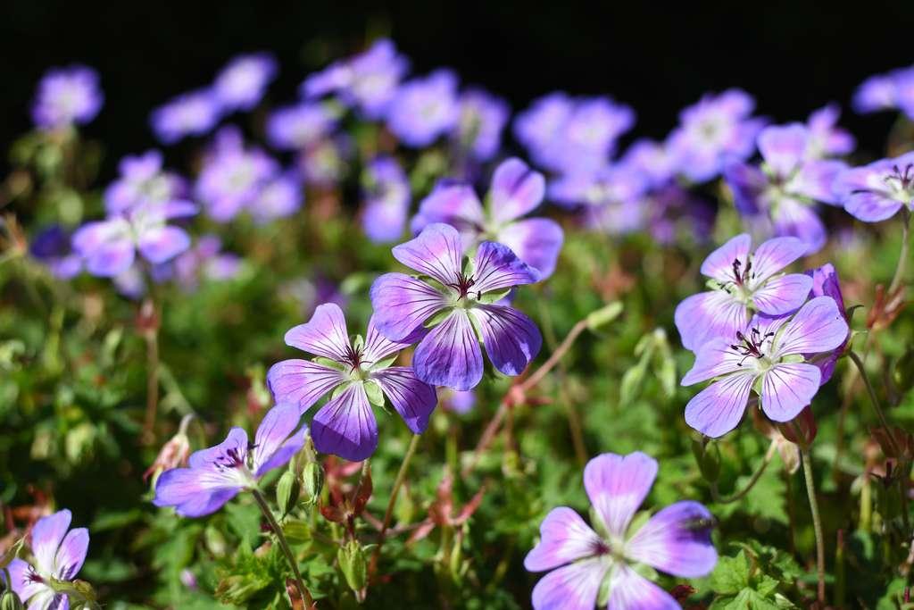 Géranium vivace à fleurs violettes et veinées. © Naturfarben, Adobe Stock
