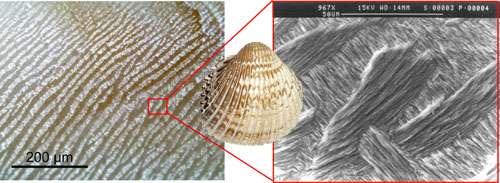 """Vue au microscope optique (gauche © C. E. Lazareth, IRD) et au MEB (© C. E. Lazareth et S. Caquineau, IRD) d'une coquille de Trachycardium procerum (Pérou), bivalve entièrement aragonitique et de microstructure lamellaire croisée. Ce sont les changements d'orientation des lamelles """"aragonitiques"""", particulièrement bien visibles sur la photographie de droite, qui donnent cet aspect """"peau de zèbre"""" observable au microscope à gauche. Reproduction et utilisation interdites"""