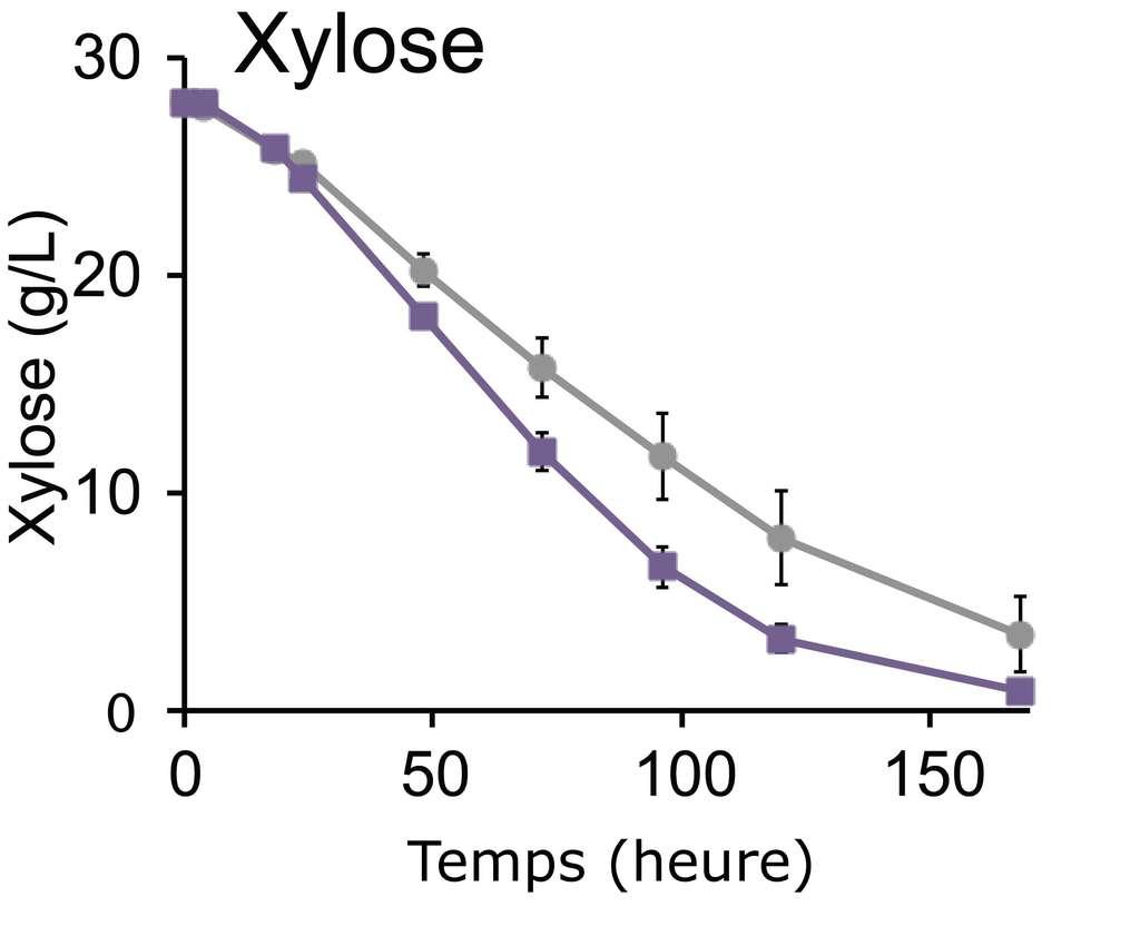 Consommation de xylose par le champignon Saccharomyces cerevisiae avec le gène CtAKR (violet) ou sans (gris). © Wohlbach et al., 2011 - traduction Futura-Sciences