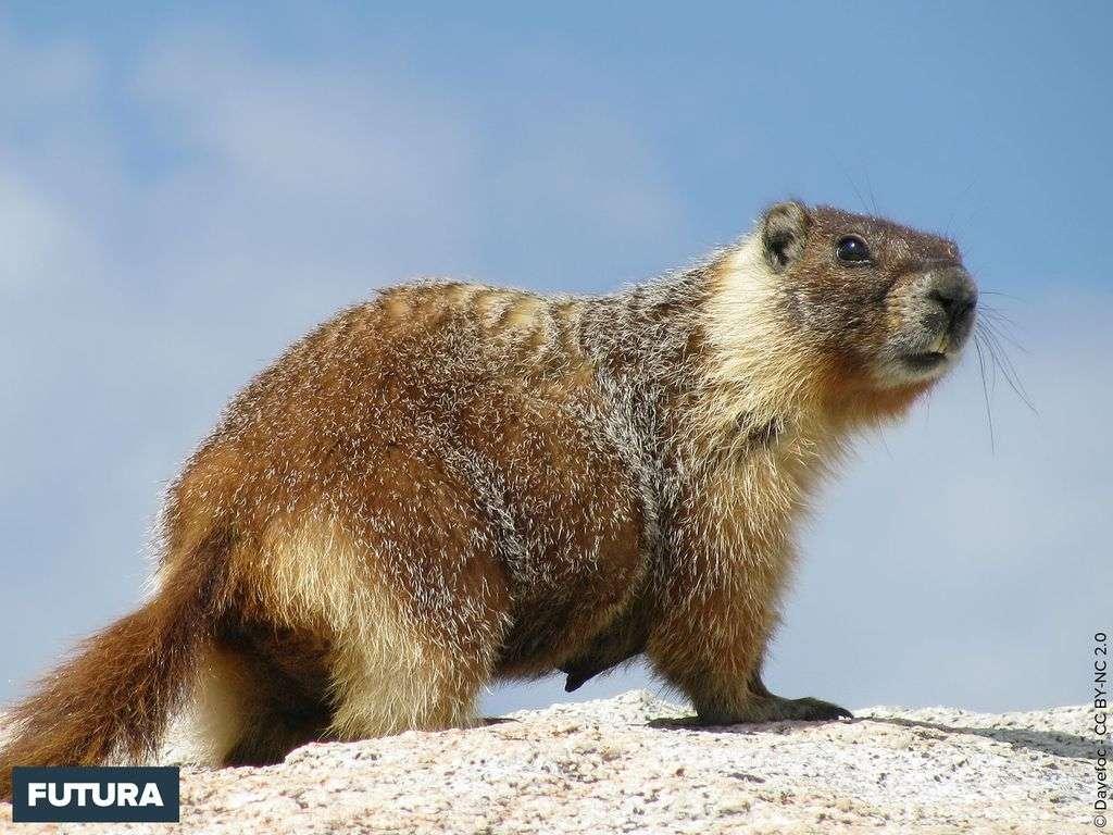 Marmotte à ventre jaune