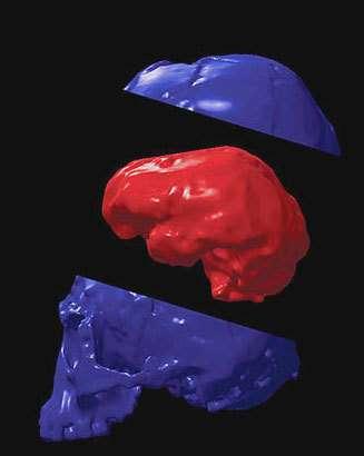 Modélisation du cerveau de l'Homo floresiensis. Crédit université d'Etat de Floride