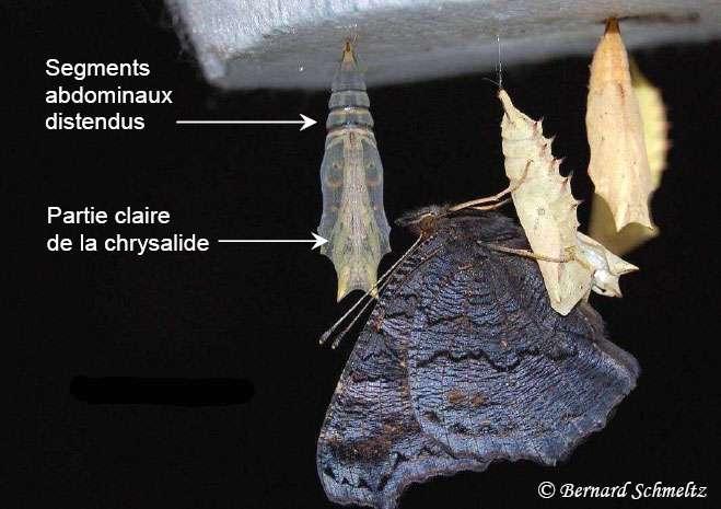 Le papillon adulte sort de sa chrysalide. © Bernard Schmeltz