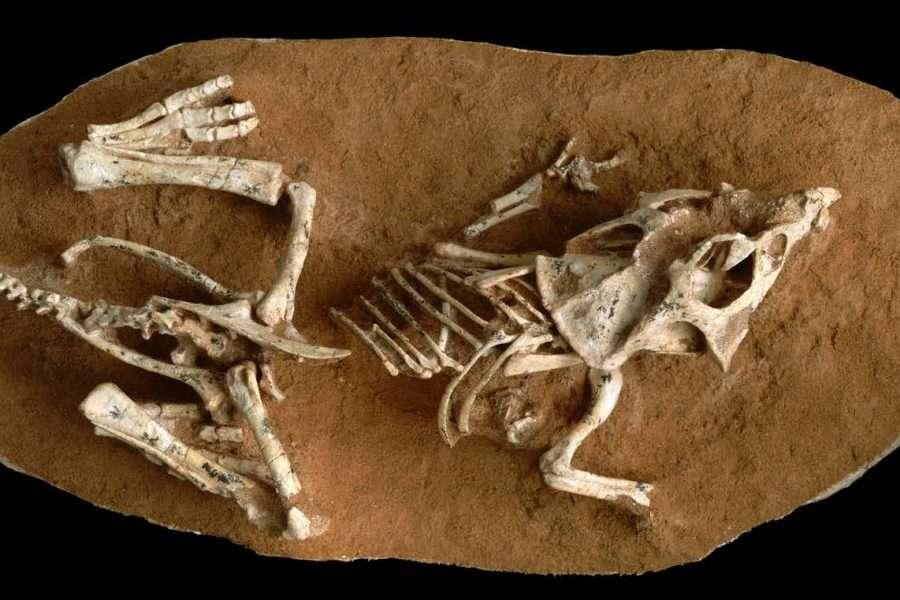 Un des embryons de Protoceratops andrewsi utilisé par les paléontologues dans leurs travaux. © Gregory Erickson, FSU