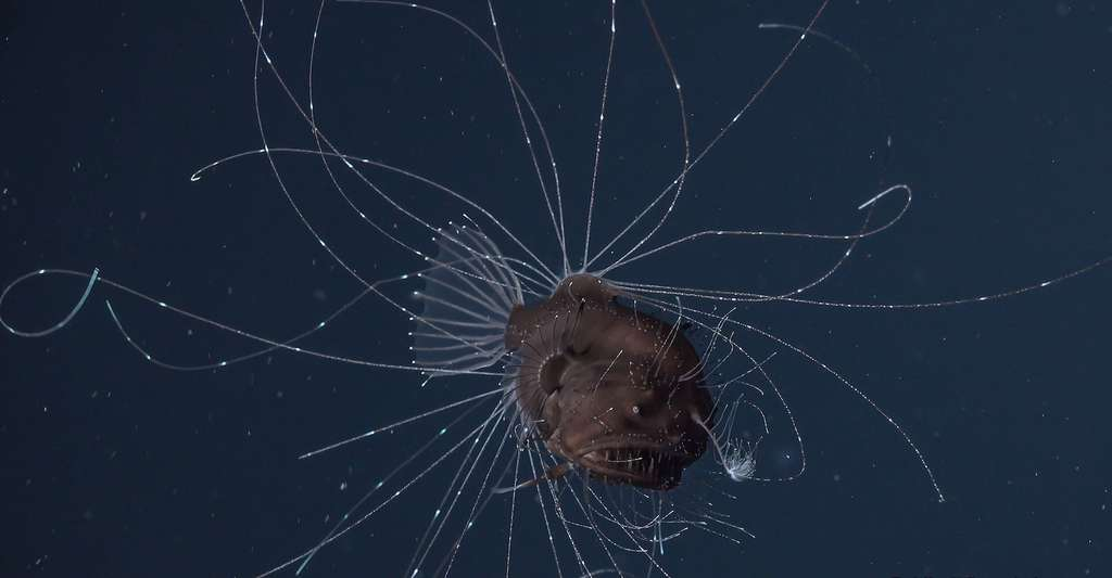 Cette baudroie abyssale présente des rayons de nageoires indépendants les uns des autres et qui émettent de la lumière par bioluminescence. © Rebikoff-Niggeler Foundation