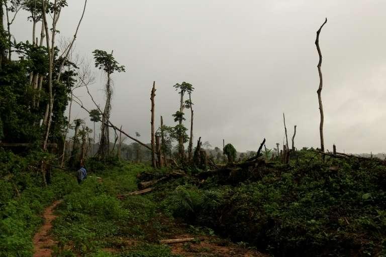 Déboisement de 850 hectares pour planter des palmiers à huile près de Kisangani, le 25 septembre 2019 en République démocratique du Congo. © Samir Tounsi, AFP, Archives