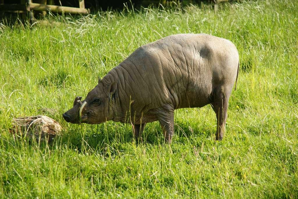 Babiroussa au zoo de Twycross, en Angleterre. © tim ellis, Flickr, cc by nc 2.0