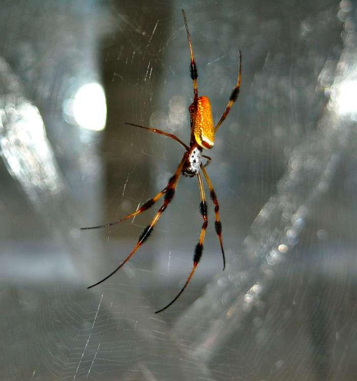 Une araignée femelle Nephila clavipes sur sa toile. Les propriétés mécaniques des toiles de cette espèce ont été caractérisées de manière non-invasive grâce à la diffusion Brillouin. © Jeffery Yarger