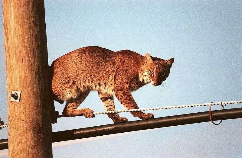 Lynx roux sur poteau. © Nasa, domaine public