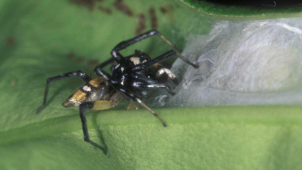 L'araignée Phintella entre dans son nid. Il est équipé de volets à ses extrémités : l'araignée soulève un volet lorsqu'elle entre ou sort. La fourmi, elle, arrive rarement à entrer dans le nid par ces portes. © Robert Jackson, université de Canterbury