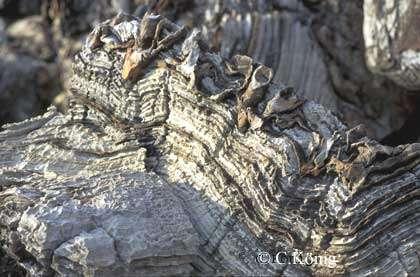 Stromatolites d'Otjitotongwe, en Namibie. © C. König, DR