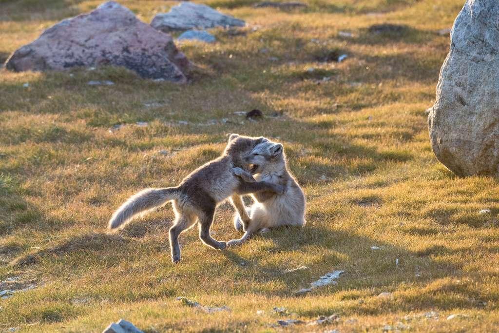 Jeunes renards bleus dans l'été arctique