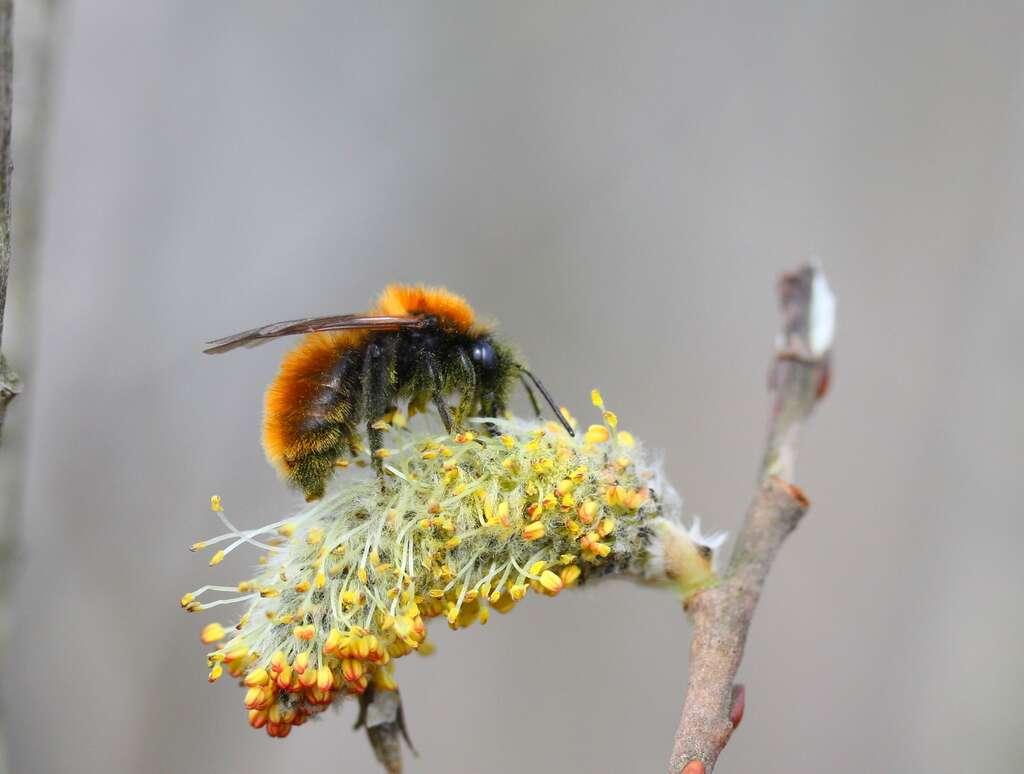 Andrena fulva - Andrène fauve