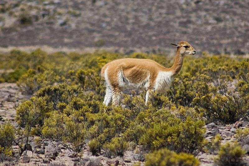 Vigogne près d'Arequipa. © Alexandre Buisse, Wikipedia, GNU 1.2