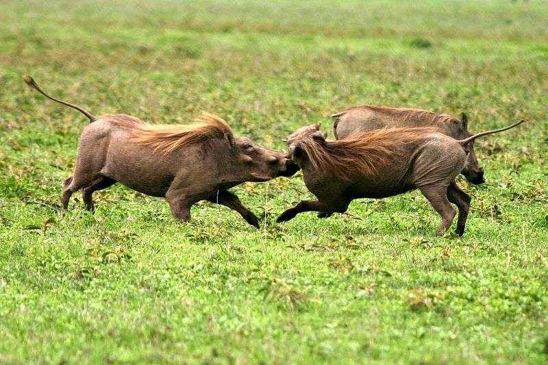 Un combat de phacochères. © Charlesjsharp, Wikipédia, cc by sa 3.0