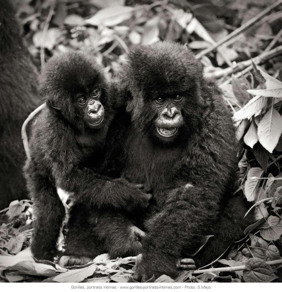 Jeunes gorilles en train de s'amuser