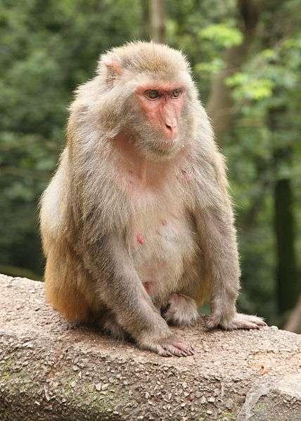 Macaque rhésus femelle. © Einar Fredriksen, CC by-SA 2.0