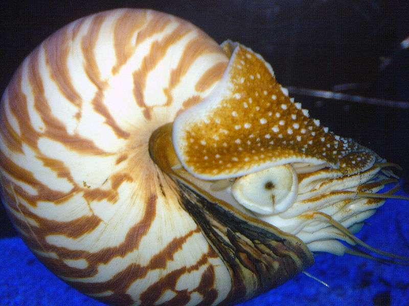 Le nautile, un céphalopode actuel proche des ammonites, possède une coquille lisse. © Daniel Davis, Wikimedia Commons, cc by sa 2.0