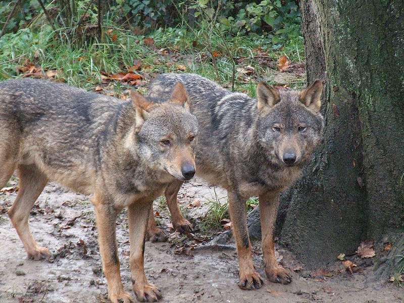 Loups Ibériques. © Gérard van Drunen CCA 2.0 Generic license