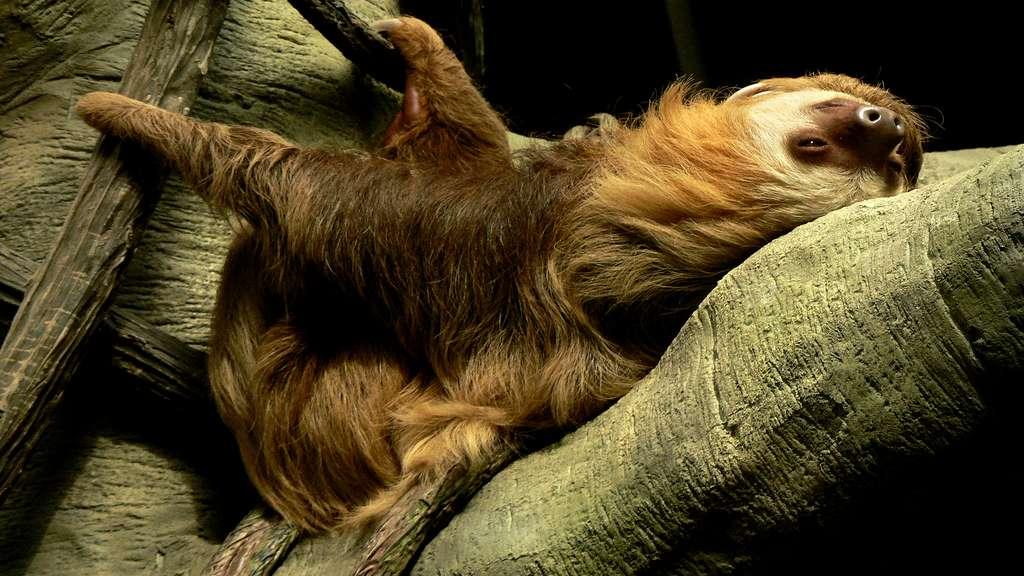 Le paresseux, un animal très présent au Costa Rica