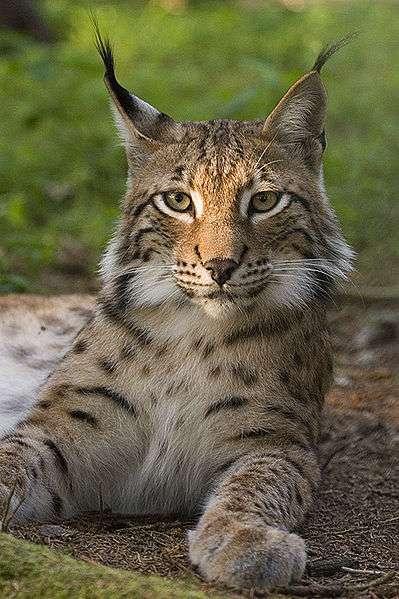 Lynx européen. © Bernard Landgraf, GNU Free Documentation License, version 1.2