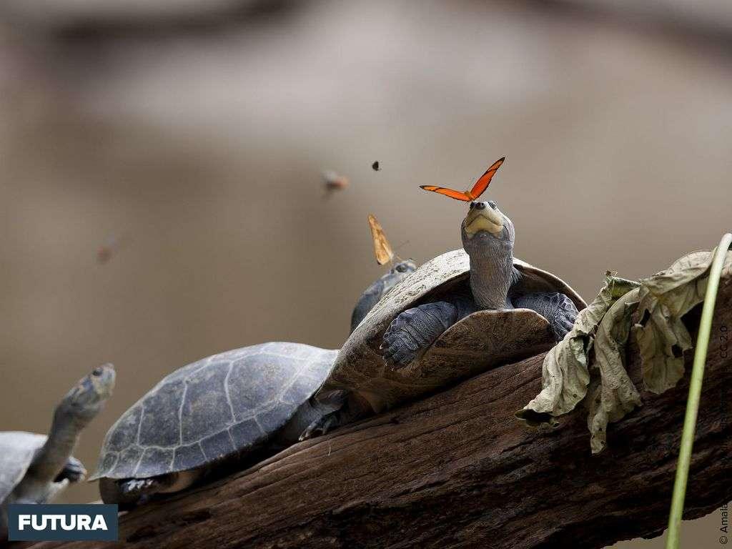 Deux papillons flambeaux (Dryas iulia) en train de boire les larmes de tortues