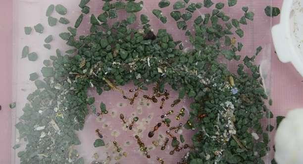 Marquées de taches colorées pour être reconnues individuellement, les fourmis vivent leur vie espionnées par la caméra. Ici, elles construisent un nid. Mais toute la colonie ne participe pas. Près de la moitié de ces insectes censément stakhanovistes ne font que regarder les autres travailler. © Daniel Charbonneau