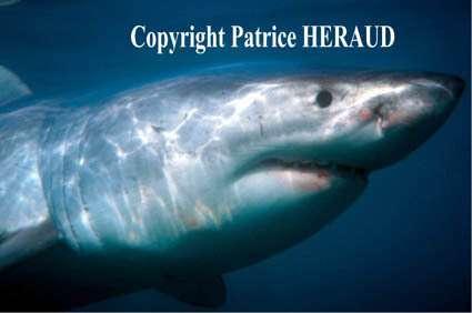 Sensibiliser le public pour que le grand requin blanc ne figure jamais au rang des espèces disparues...