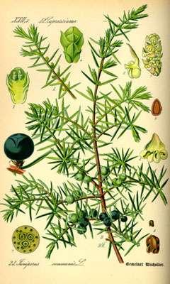 Juniperus communis. © Domaine public