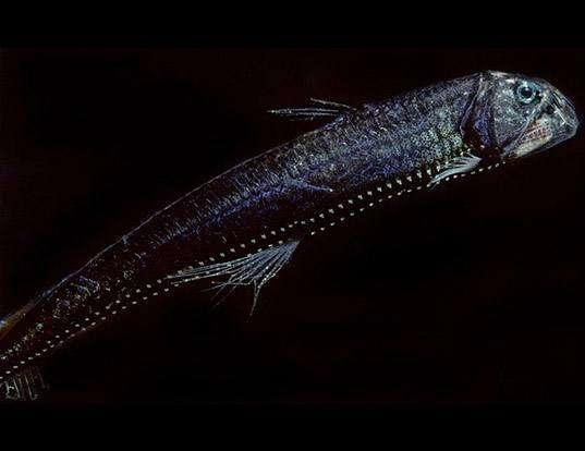 La peau de Chauliodus macouni reflète environ 0,5 % de la lumière. © domaine public