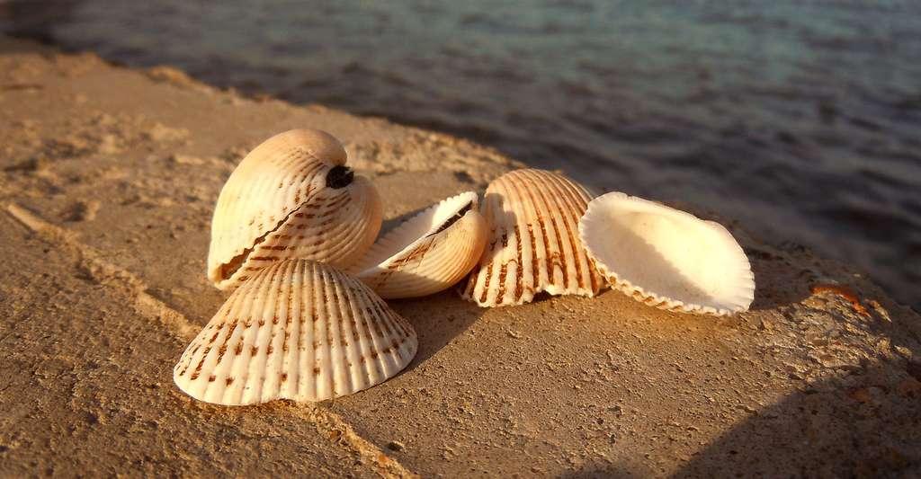 Les crustacés peuvent être contaminés. © Yuriy Kvach - CC BY-SA 3.0